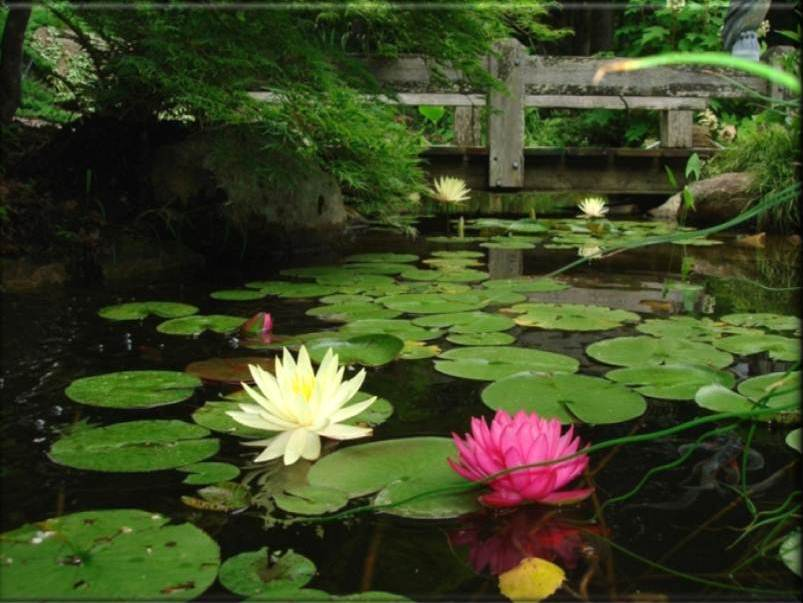 Creative Garden Spaces Inc, Summerfield NC, water feature, water garden, koi pond, pond bridge