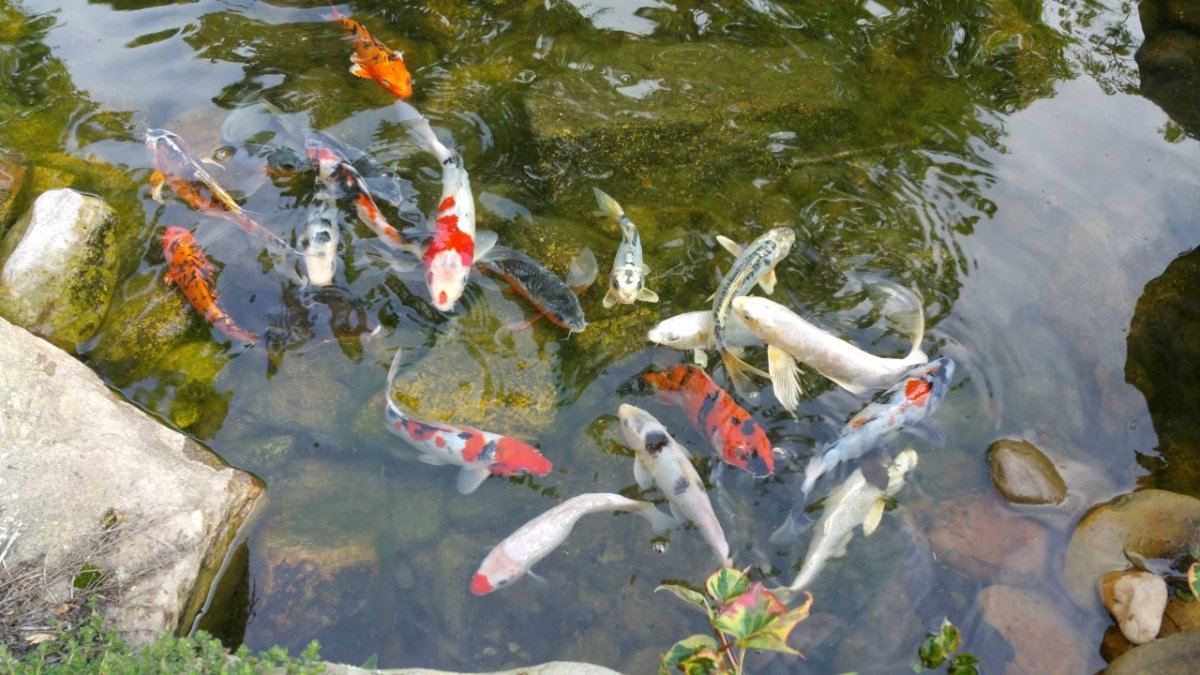 Japanese koi creative garden spaces for Japanese garden with koi pond