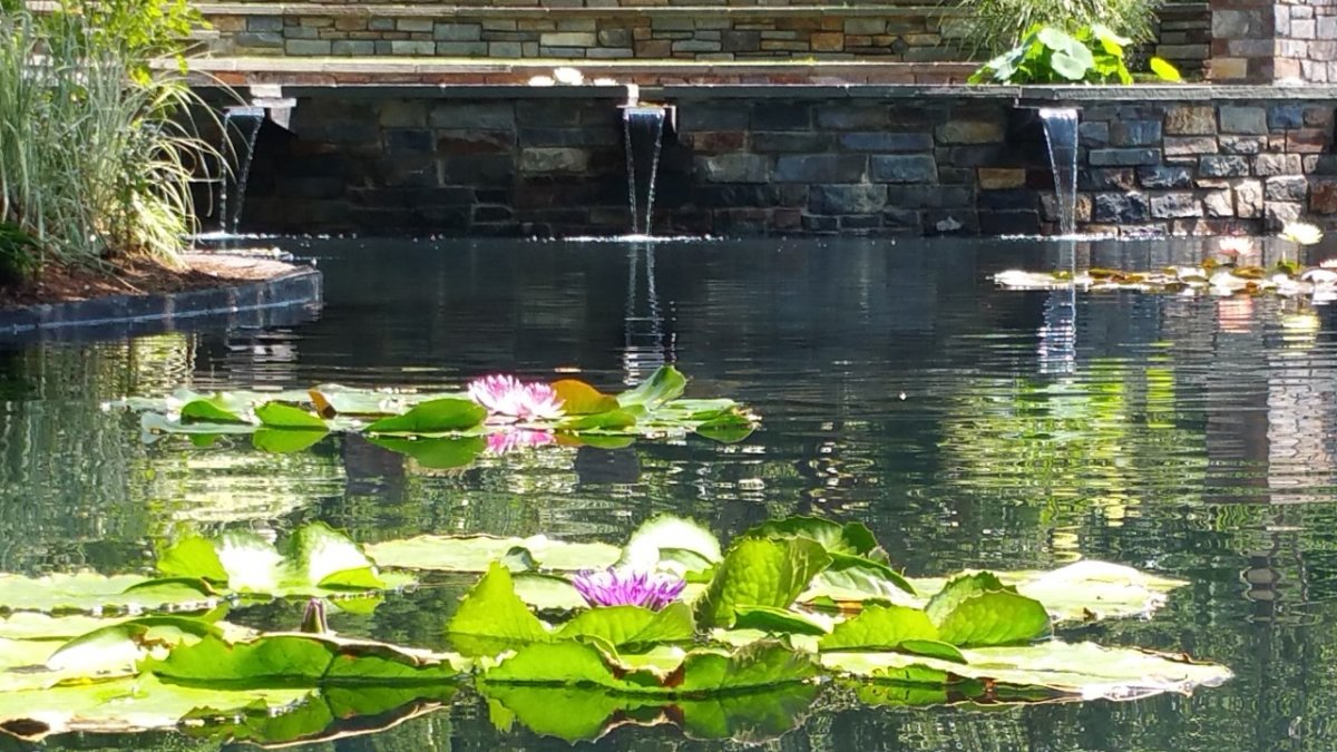 Creative Garden Spaces Inc, Sara P. Duke Gardens, Durham NC, koi pond, water feature, lily pond, water garden